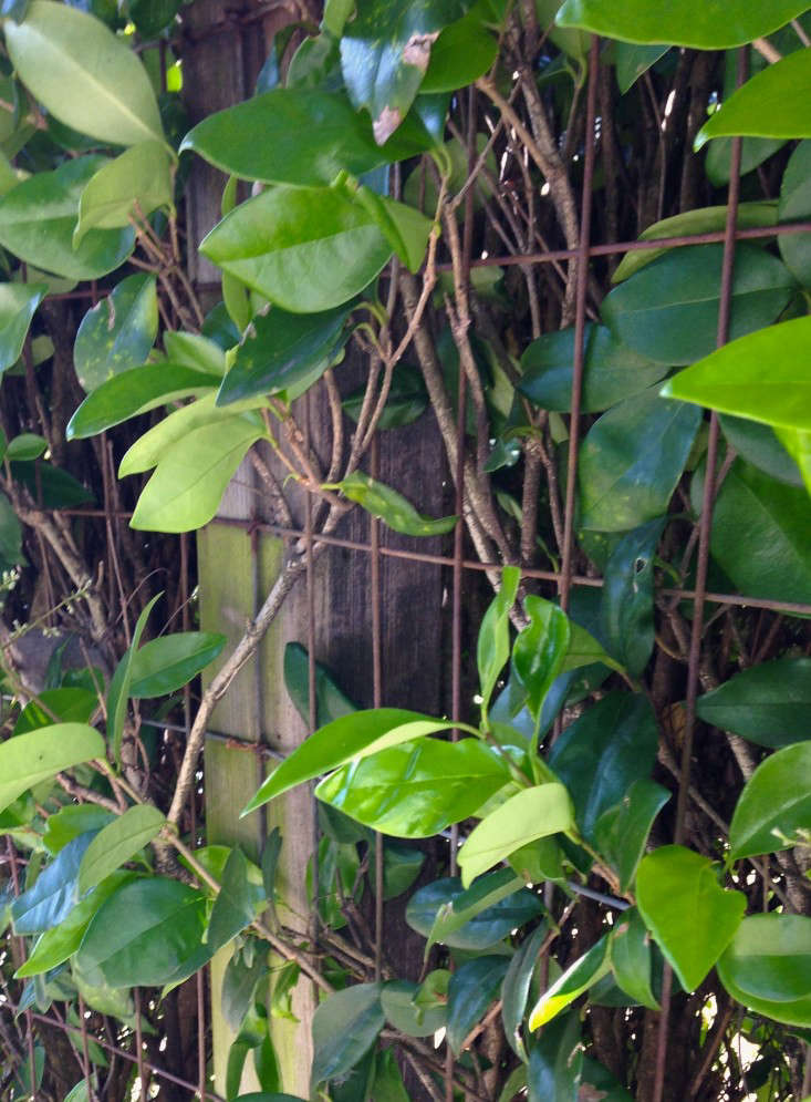 hog wire fence with vines