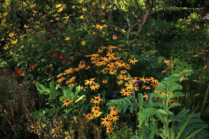 Rudbeckia, a perfect foil for the hotter dahlia hues.