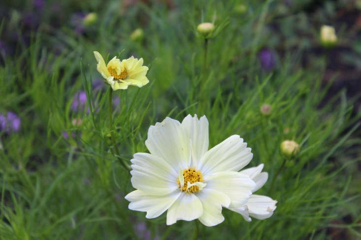 Michelle grows cosmos in her Northern California garden, where it isn&#8