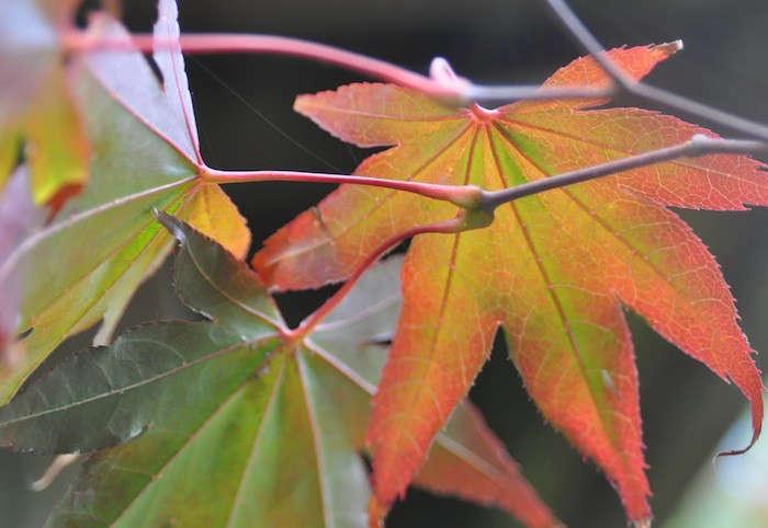 fall-foliage-janet-backyard-maple-Gardenista