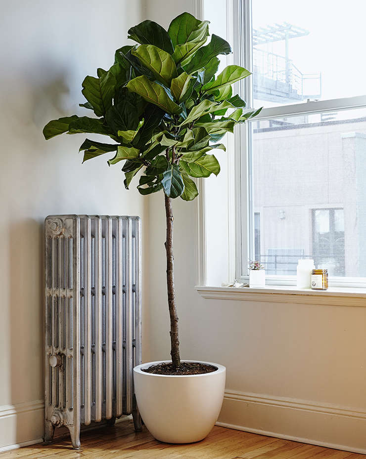 Fiddle leaf fig tree (fiddle-leaf fig) from The Sill