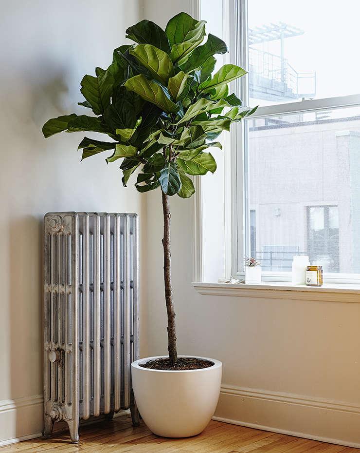 Considering The Fiddle Leaf Fig Tree Gardenista