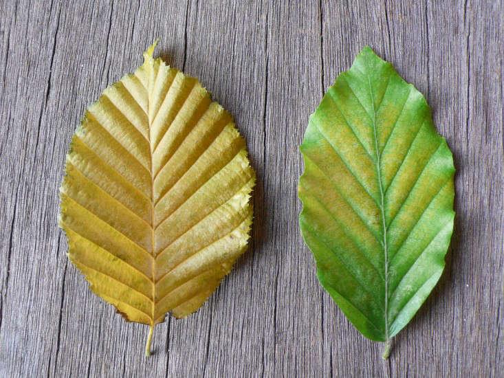 field-guide-beech-hornbeam-leaves