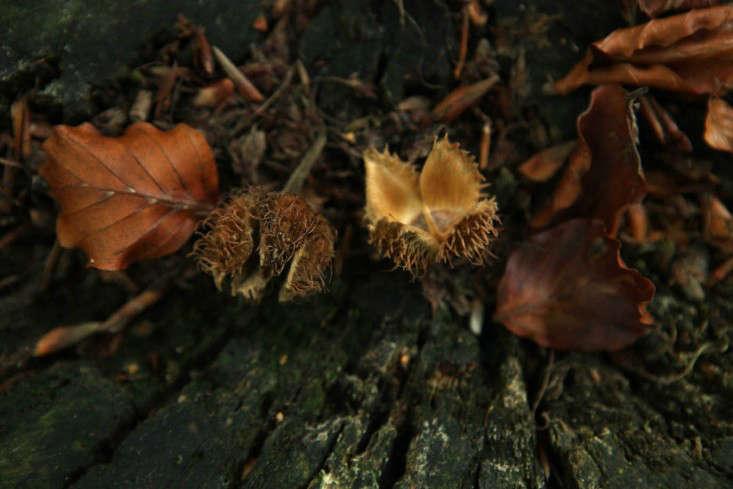field-guide-beech-nuts