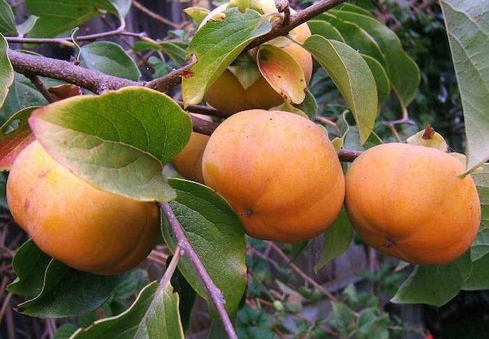 fuyu-persimmons-tree-gardenista
