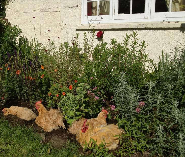 gardens-with-chickens-urban-chicken-coops-gardenista-9