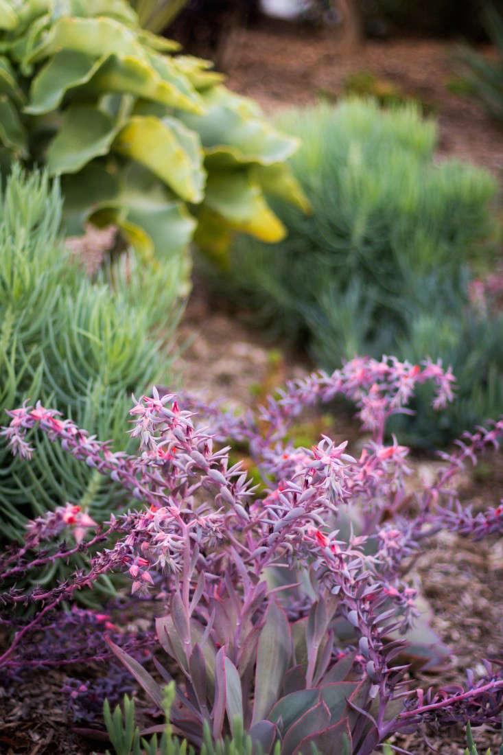 A closeup view of Echeveria &#8