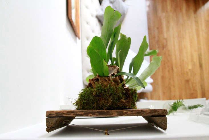 Take the staghorn fern for a test drive before hanging it on a wall.
