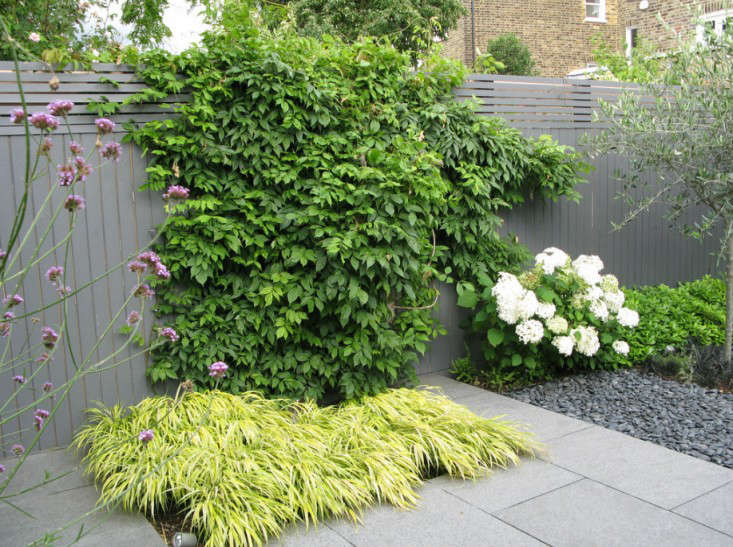 London-based garden designer Charlotte Rowe used hardy lime green Hakonechloa macra 'Aureola' as an accent beneath a climbing vine. See more in Before & After: A Jet Black Garden with White Jasmine Perfume.