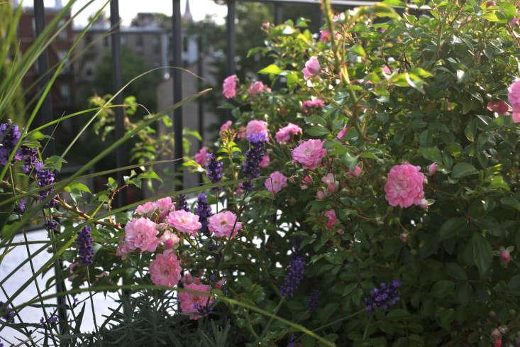 julie-farris-rooftop-brooklyn-roses-sophia-moreno-bunge-gardenista