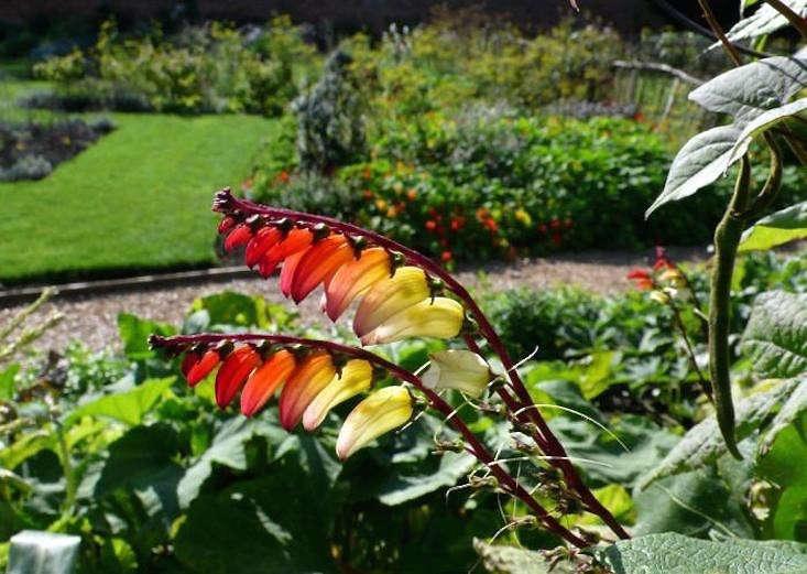 kelmarsh-hall_spanish-flag-gardenista
