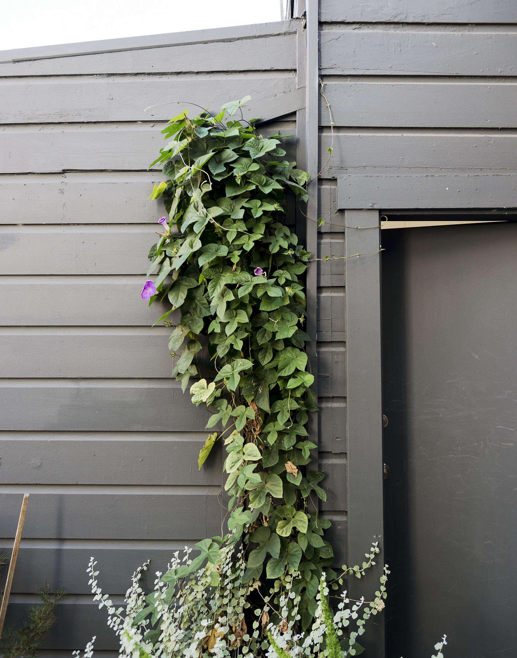 klein-garden-mission-san-francisco-gardenista-morning-glory