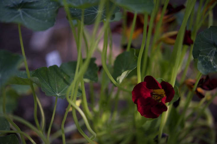 George grows complementary plants around his tomatoes and tomatillos, using nasturtiums, calendula, and ground cherries to help draw away predatory insects. In turn, I put the peppery nasturtium leaves in salads, make compound butter with the brilliant petals, and pickle the caper-like seed pods.