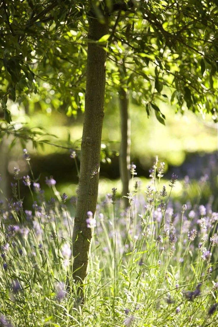 lavender-drought-tolerant-garden-olive-trees-aurstralia-gardenista-3