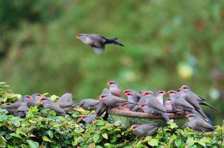 marie-viljoen-birds-waxbills-gardenista