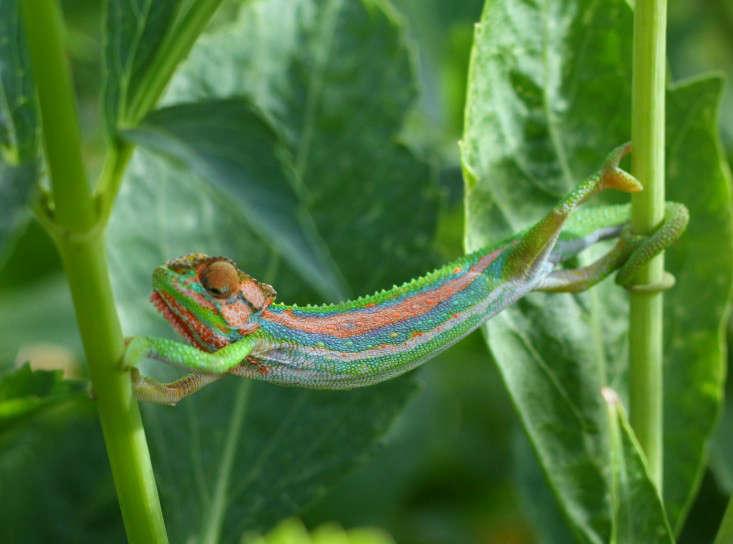marie-viljoen-cape-dwarf-chameleon-gardenista