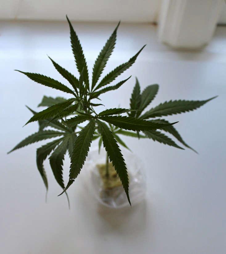 A marijuana seedling, ready to plant.
