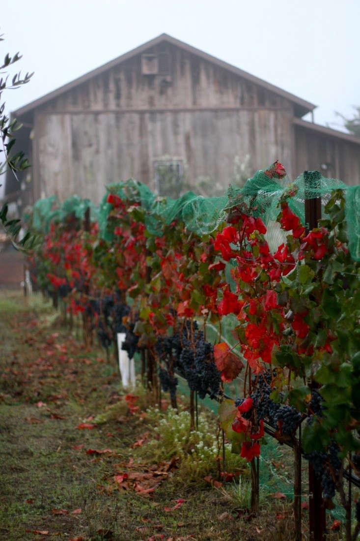 mcevoy-ranch-petaluma-grapes-gardenista