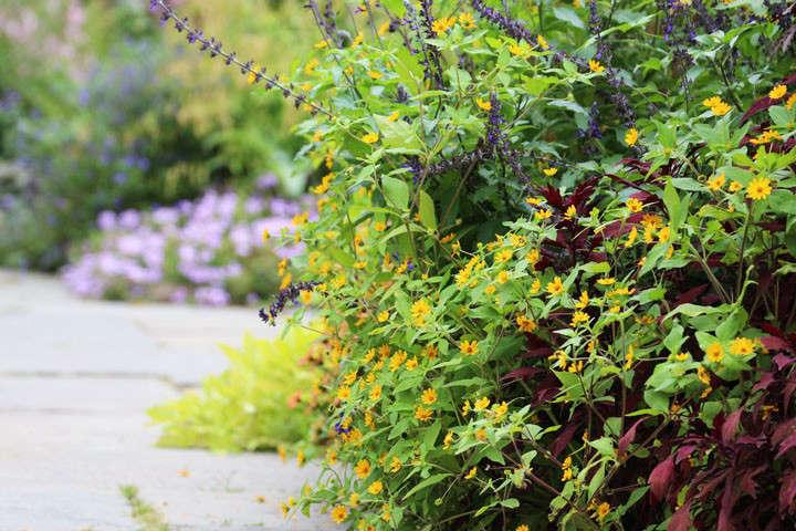 The small yellow flowers of Melampodium&#8\2\16;Son of Garth&#8\2\17; cluster around the intense blue of Salvia x &#8\2\16;Indigo Spires&#8\2\17;. Solenostemon &#8\2\20;˜Lancelot&#8\2\17; and sweet potato (Ipomoea batata &#8\2\16;Dwarf Marguerite&#8\2\17;, again) create volume.