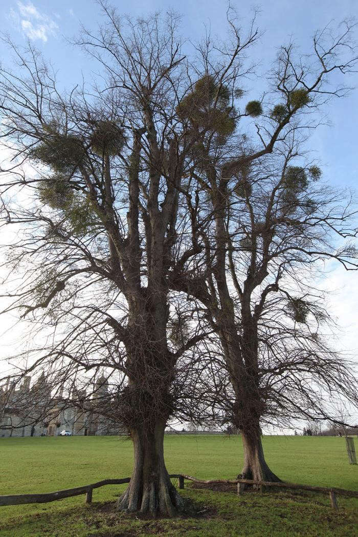 mistletoe-balls-tree-burghey-UK-gardenista