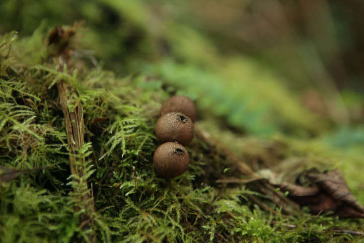 Puffballs are so called because of the puff of &#8