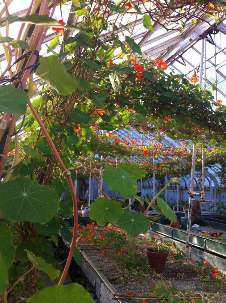 nasturtiums-5-isabella-stewart-gardener-museum-gardenista