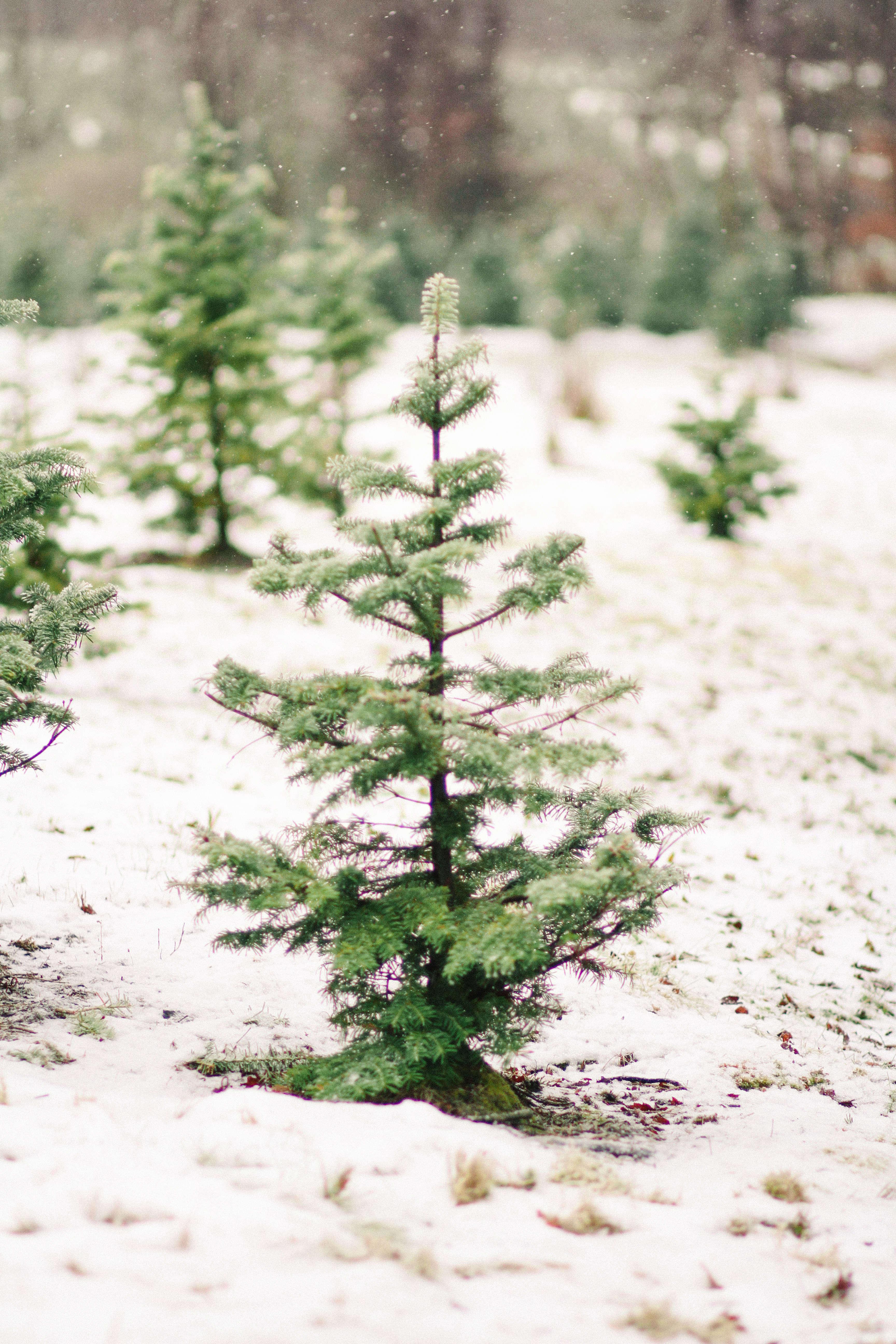 old-farm-christmas-tree-farm-Justina-Bilodeau-gardenista-0008