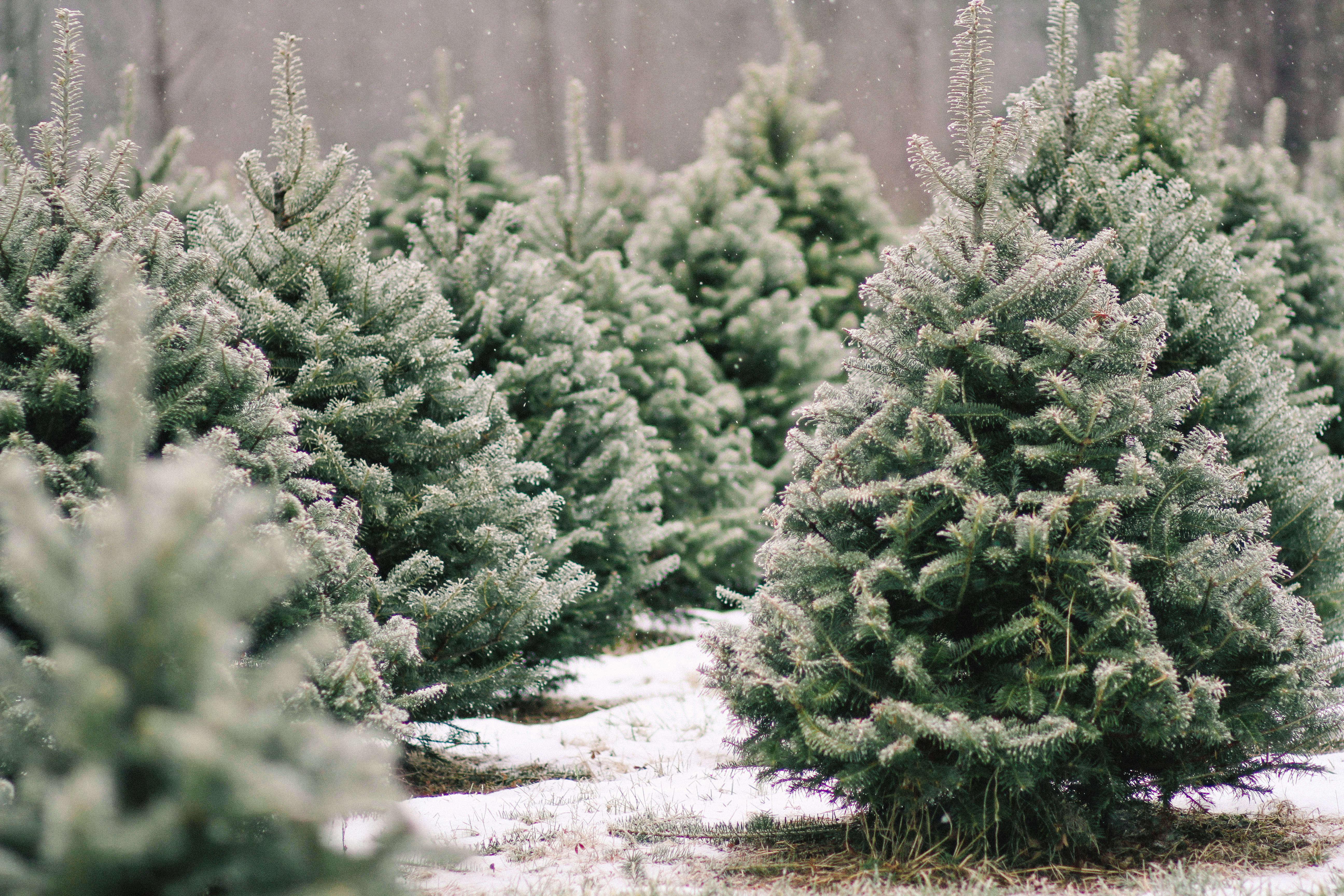 old-farm-christmas-tree-farm-Justina-Bilodeau-gardenista-0016