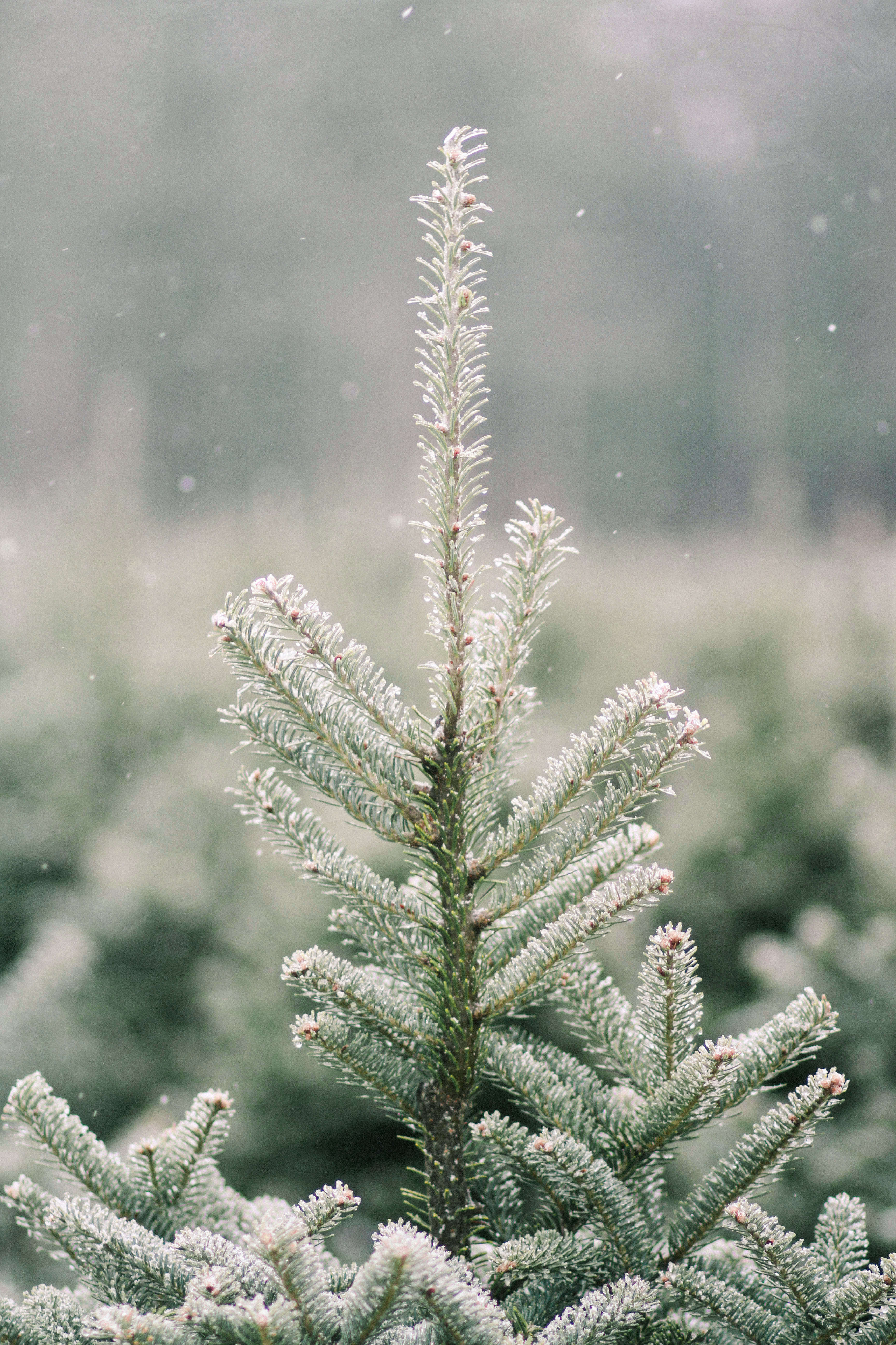 old-farm-christmas-tree-farm-Justina-Bilodeau-gardenista-0018