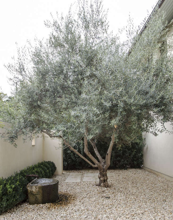 An olive tree is a focal point in a gravel courtyard in Texas. Photograph by Matthew Williams for Gardenista.