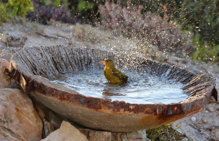 Birds in urban and suburban environments need water to keep their feathers clean. (Lawson keeps her fountain heated in winter.) Photograph by Marie Viljoen.