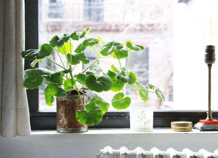 pelargonium-erin-boyle-gardenista