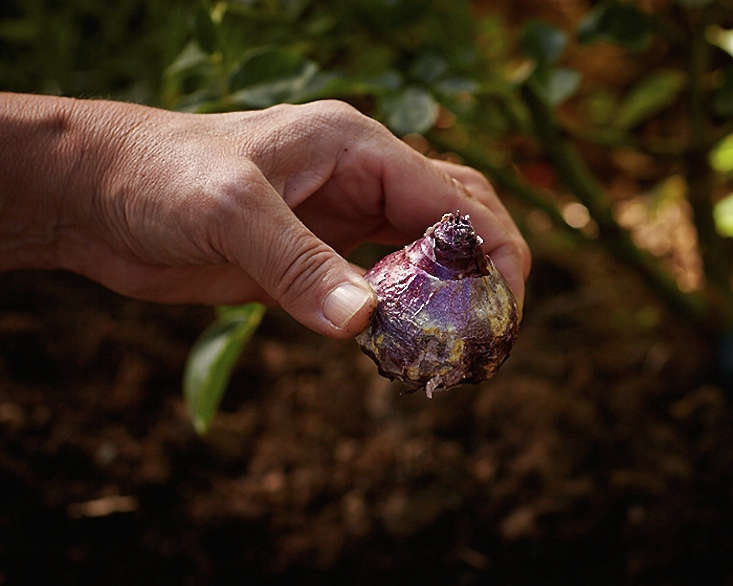 planting-spring-bulb-gardenista