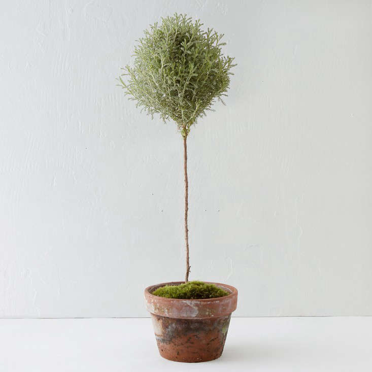 Gift Guide Tiny Topiaries For The Apartment Dweller Gardenista