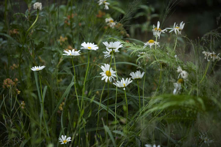 Oxeye daisies growing in the loose, wild-seeming planting. Jinny and her team will go in every few years to renovate planting if that seems necessary, and to open up the tree canopies. The garden does not need to be meticulously maintained: &#8