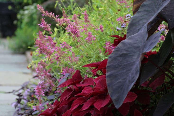 Elephant-eared Colocasia esculenta&#8\2\16;Black Magic&#8\2\17;, Solenostemon&#8\2\16;Redhead&#8\2\17;, and Agastache cana &#8\2\16;Heather Queen&#8\2\17;.