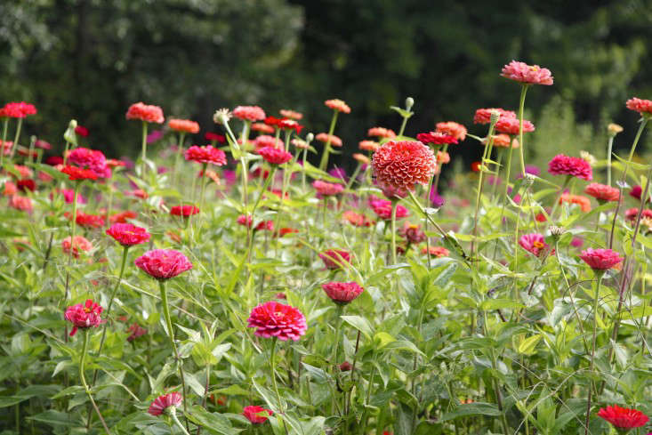Photograph by Christine Chitnis for Gardenista. For more, seeGarden Visit: Fields of Local Flowers at Robin Hollow Farm in Rhode Island.