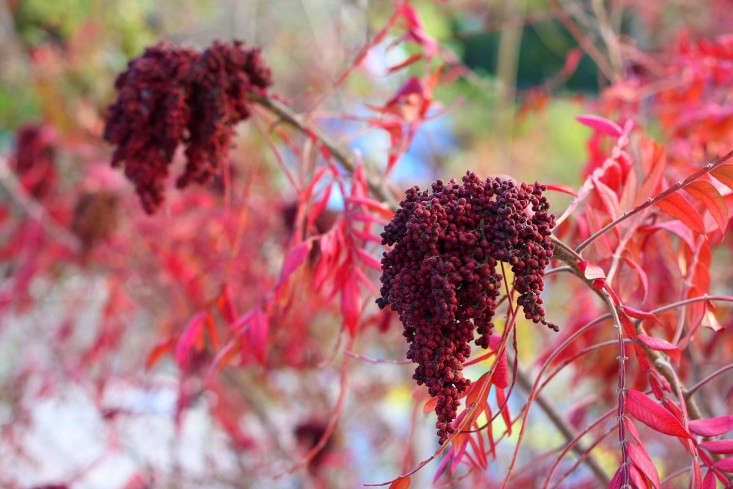 shrubs-colorful-fall-foliage-marie-viljoen-gardenista-Sumac