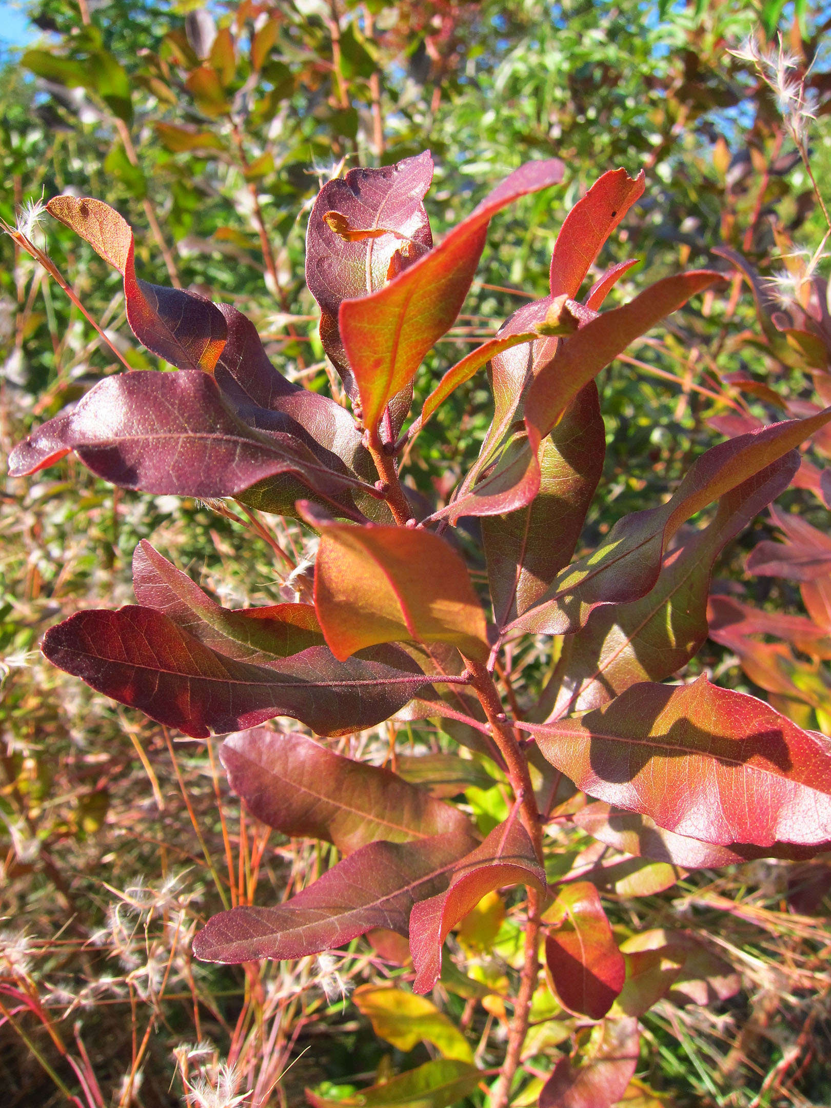 shrubs-colorful-fall-foliage-marie-viljoen-gardenista-bayberry