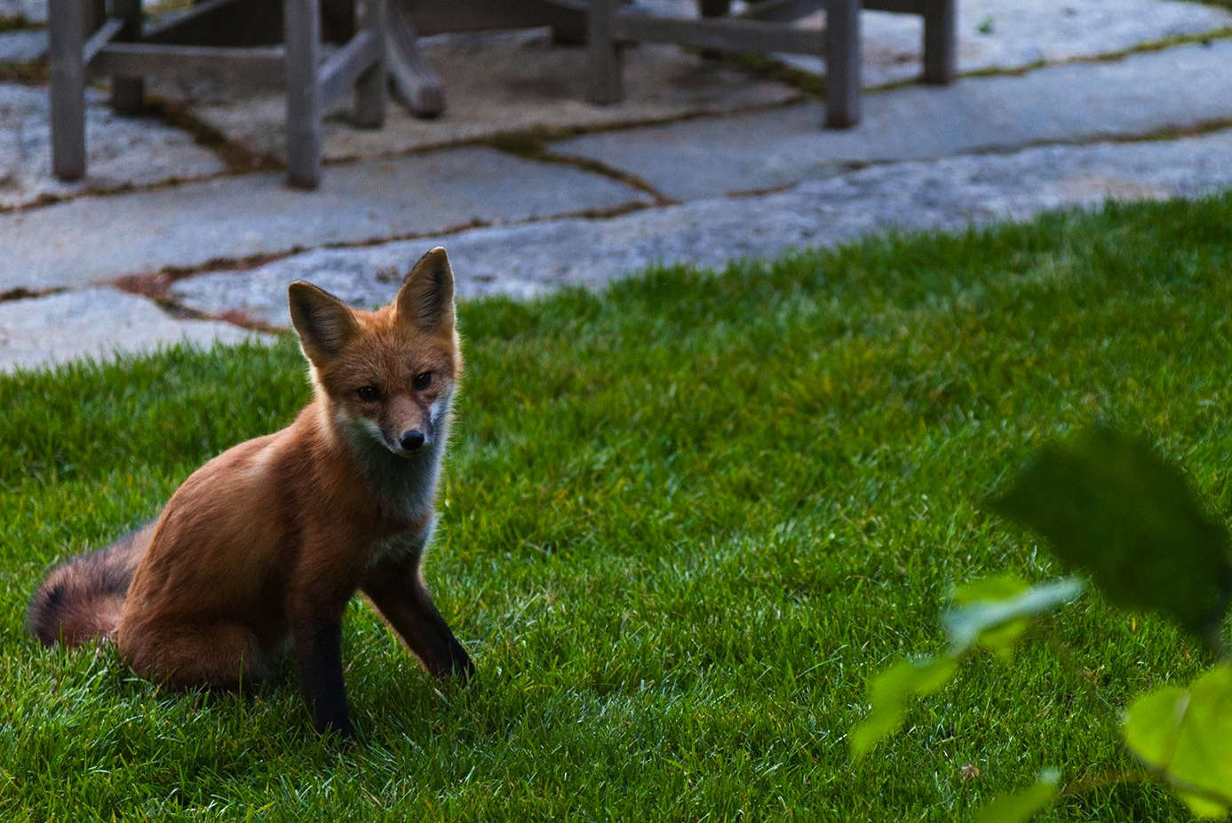 Foxes and other wildlife are daily reminders of the proximity of the national park.