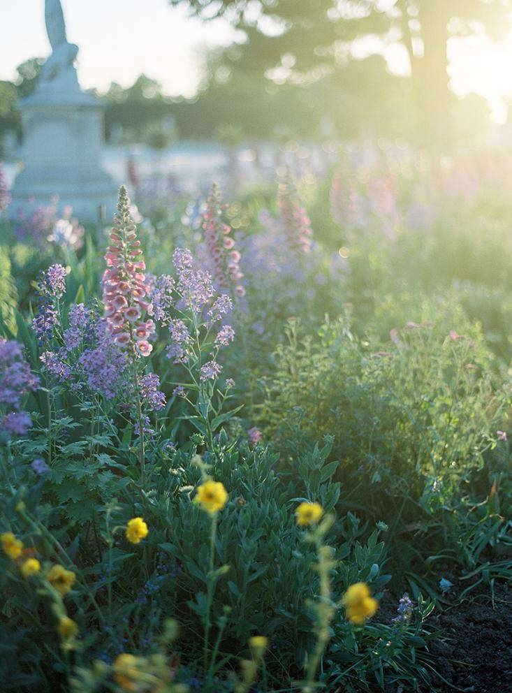 Tall stems of pink foxgloves, which are biennials, at the Tuileries in Paris. Photograph by Alice Gao, from Garden Visit: The Tuileries at Sunset, with Alice Gao.
