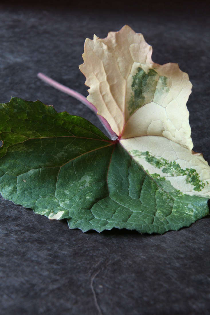 variegated-plants-5-maria-robledo-gardenista