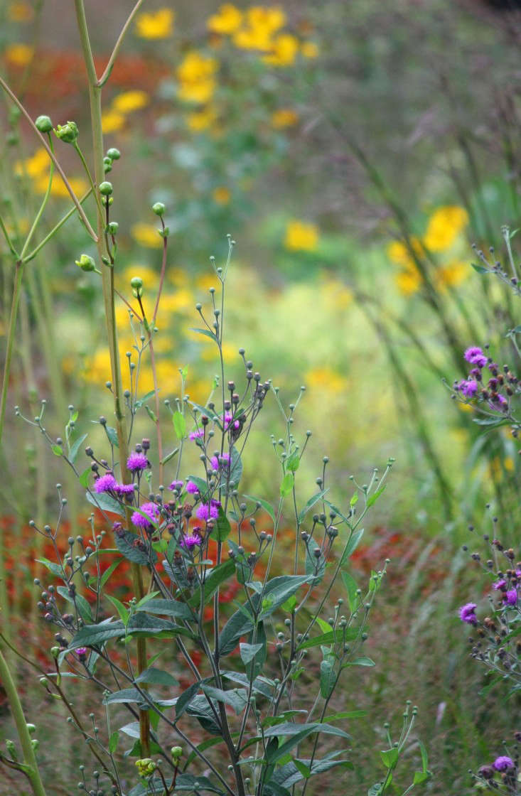 Horticulturalist Sarah Owens describes butterfly-friendly, purple-flowered native Vernonia (ironweed) as &#8