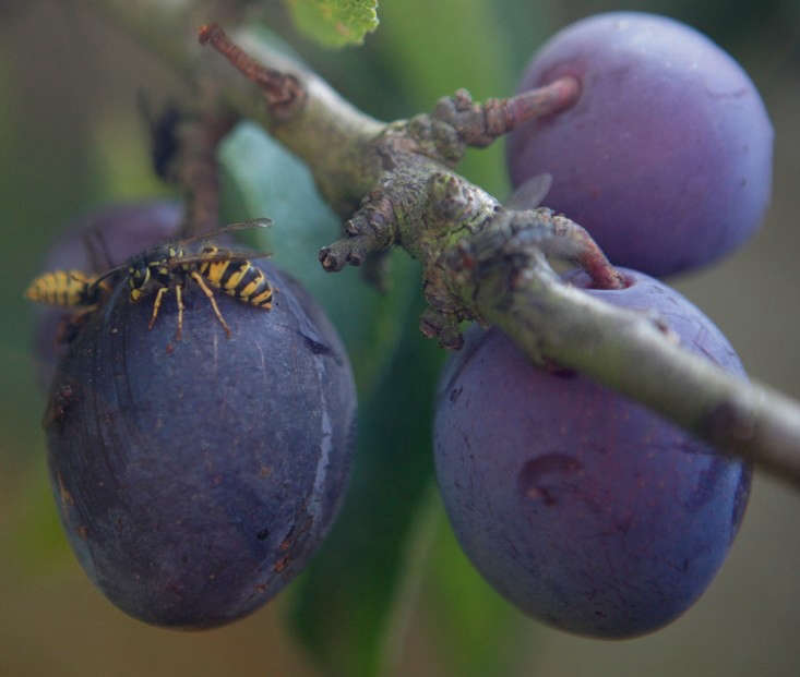 Wasps in September, tackling ripe fruit on a Damson plum tree.