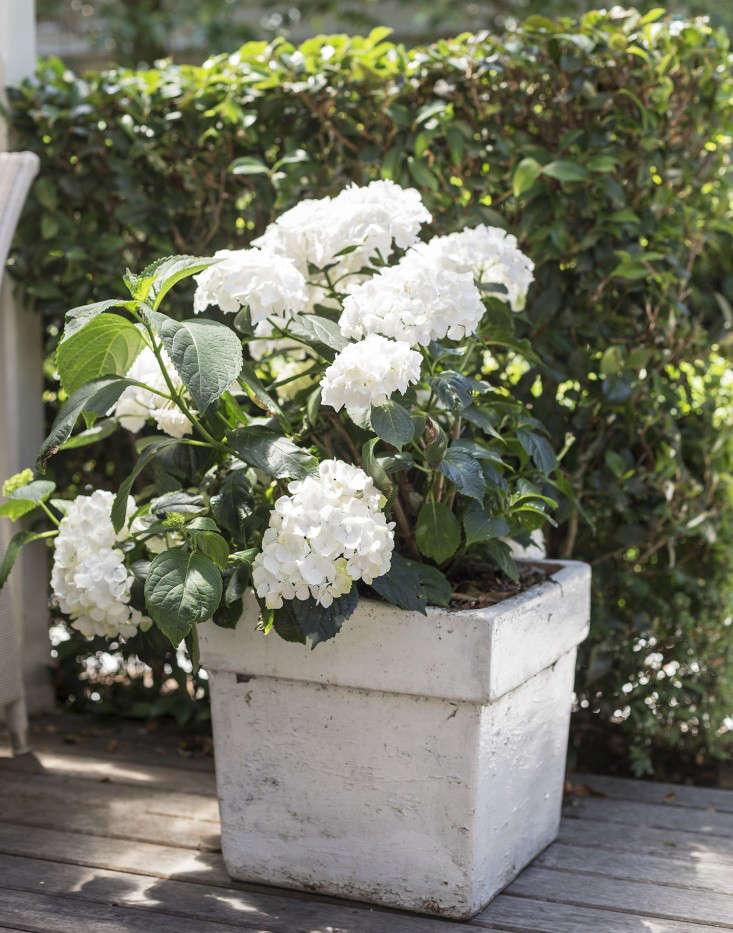 white-garden-planter-hydrangeas-gardenista