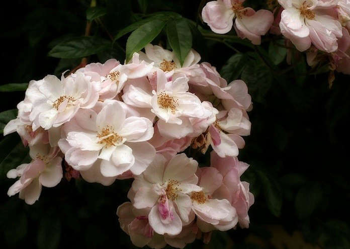 For a similar variety without the wicked thorns, consider the Renae &#8