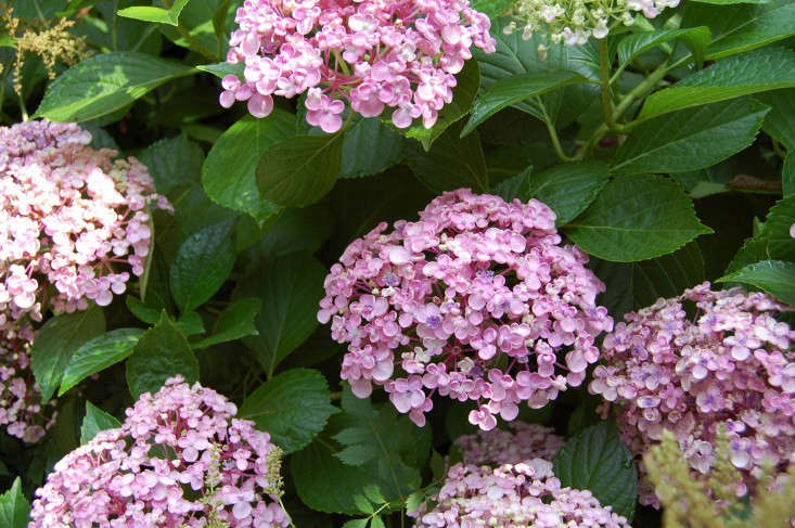 Ayesha hydrangea pink hydrangeas shrubs