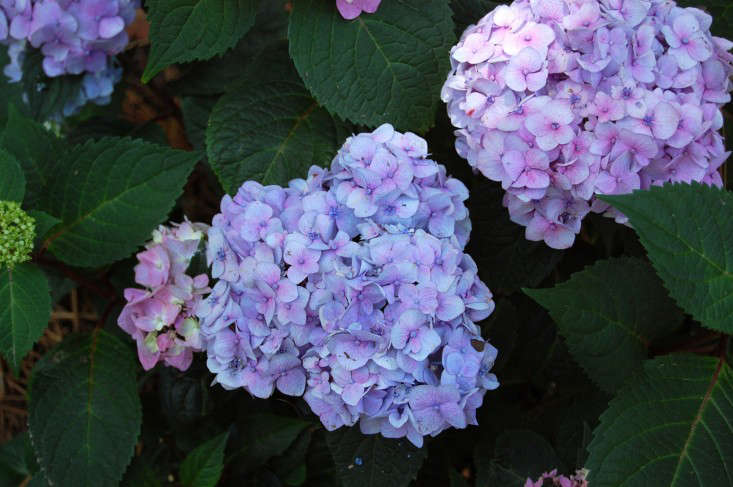 A Hydrangea Macrophylla &#8\2\16;BloomStruck&#8\2\17; in a \1-gallon pot is \29.95 from White Flower Farm.Photograph by Julie Taylor Fitzgerald, courtesy of American Hydrangea Society.