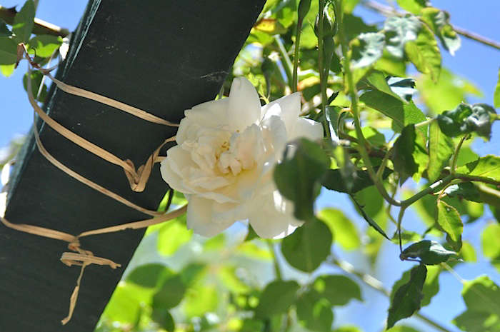 A tough climbing rose that can survive many climates (even the San Francisco fog), the Mme. Alfred Carriere Climbing Rosehas very fragrant white informal-shaped blooms. Available for $.50 from David Austin Roses. Photograph by Janet Hall.