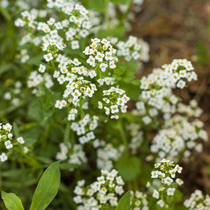 alyssum-white-carpet-of-snow-gardenista